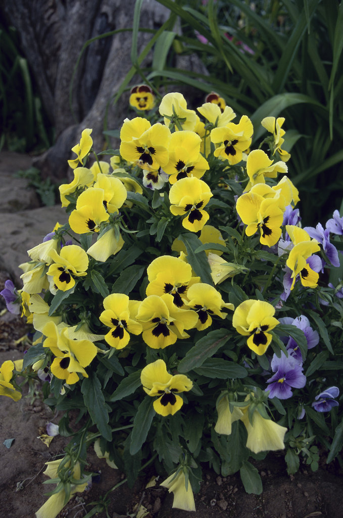 Close-up of pansies : Stock Photo