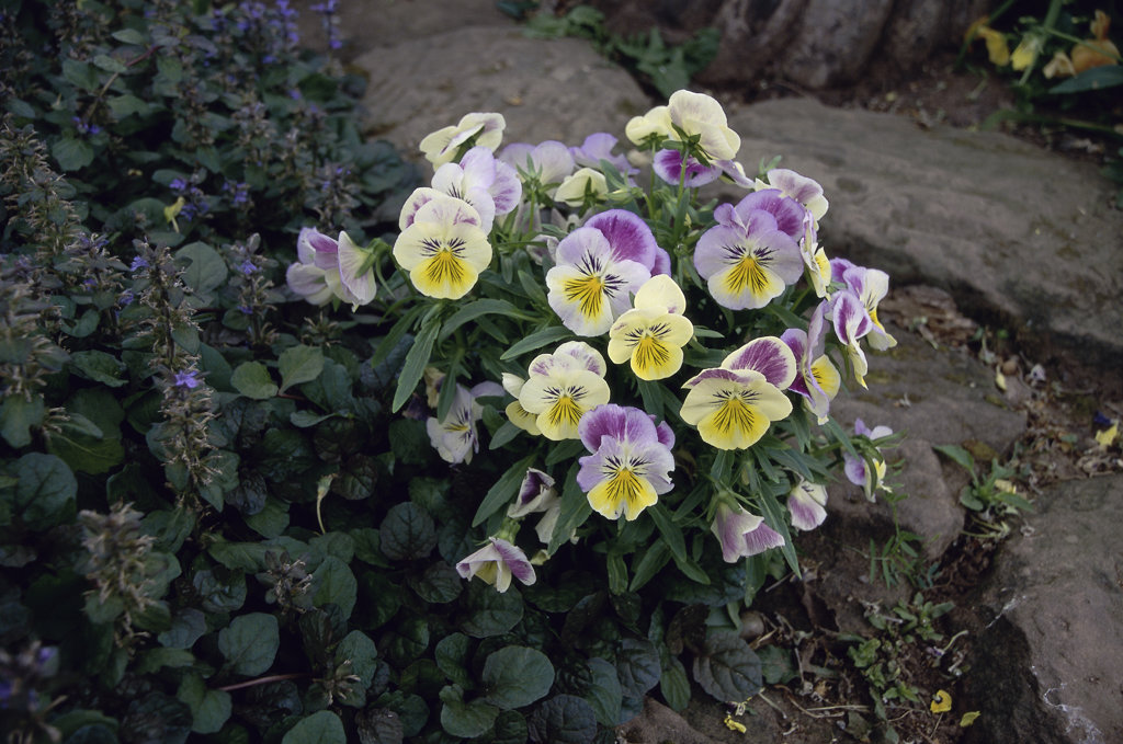 Stock Photo: 1346R-269 Close-up of pansies