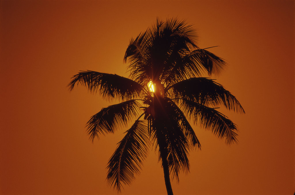 Stock Photo: 1346R-465 Silhouette of a palm tree during sunset
