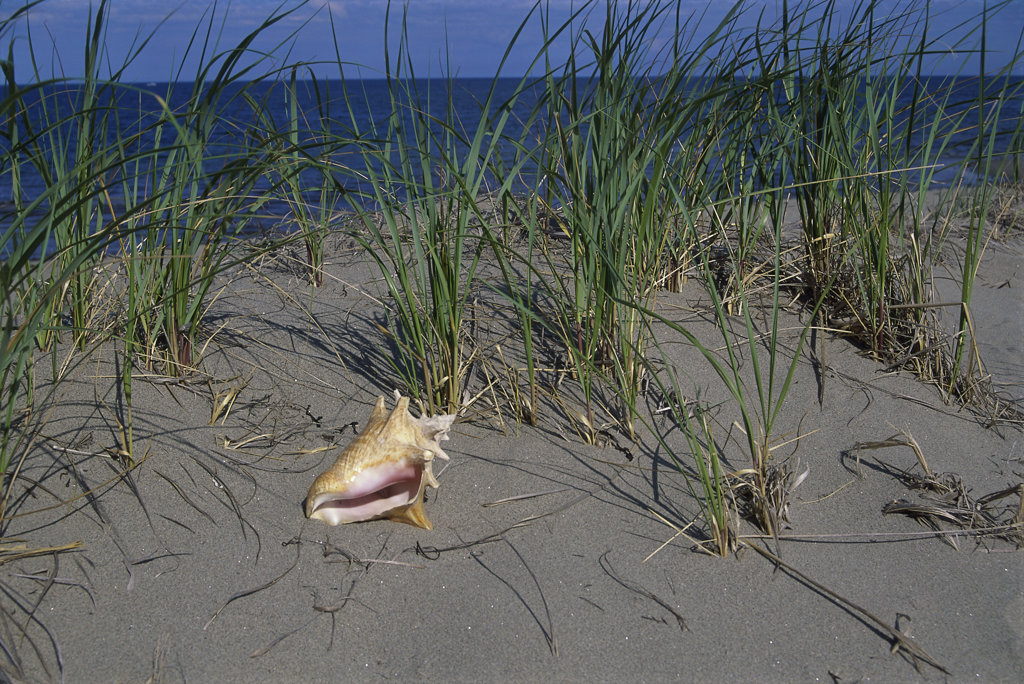Stock Photo: 1346R-540 Conch shell on the beach