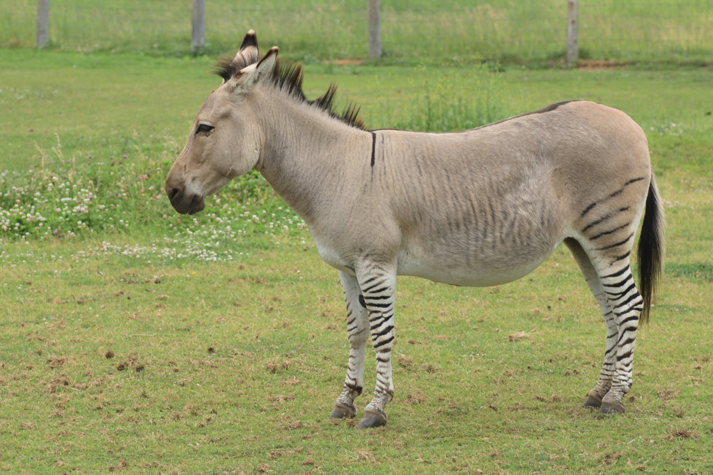Zeedonk the cross breed of zebra and donkey standing in field : Stock Photo