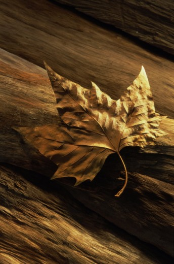 Stock Photo: 1350-286 Close-up of a dry maple leaf