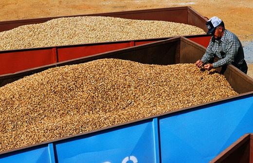 Stock Photo: 136-322A Man examining harvested peanuts, Georgia, USA