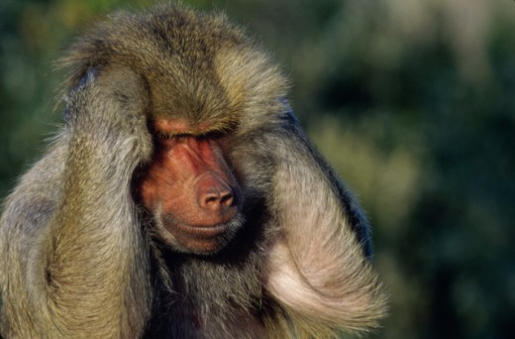 Guinea Baboon : Stock Photo