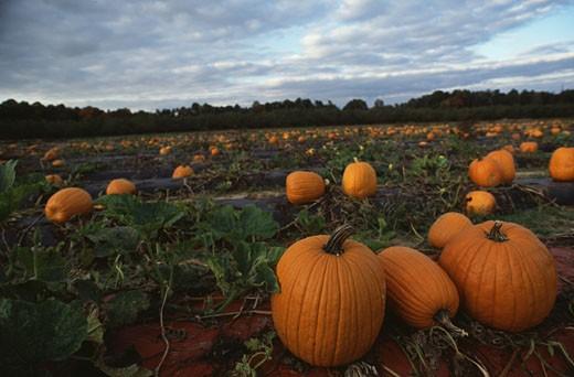 Stock Photo: 1365-430 Pumpkins in a field