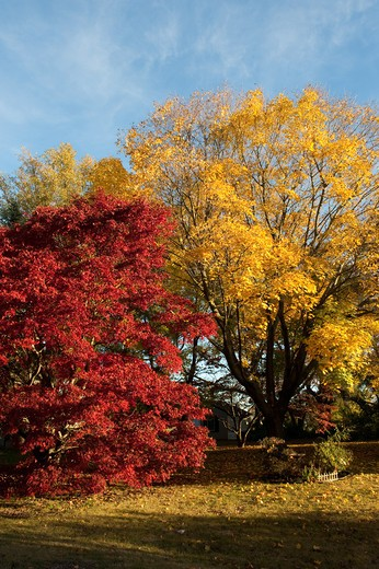 Maple trees in a park, Dover, Kent County, Delaware, USA : Stock Photo