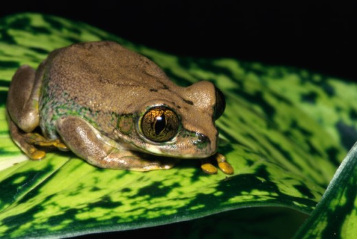 Stock Photo: 1370-1028 Big-eyed Treefrog
