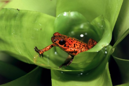 Stock Photo: 1370-1033 Close-up of a Strawberry Poison Dart Frog on a leaf (Dendrobates pumilio)