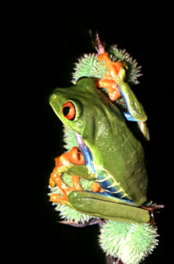 Stock Photo: 1370-1082 Red-Eyed Tree Frog