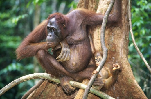 Stock Photo: 1370-1149A Orangutans