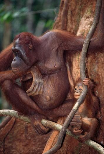 Stock Photo: 1370-1149B Orangutans Borneo