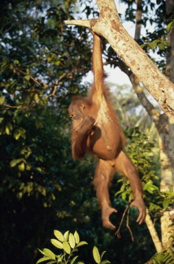 Stock Photo: 1370-1153 Orangutan