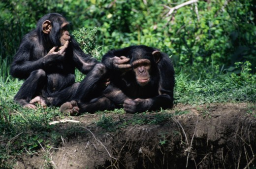 Stock Photo: 1370-1161 Chimpanzees