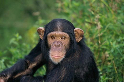 Stock Photo: 1370-1164 Chimpanzee