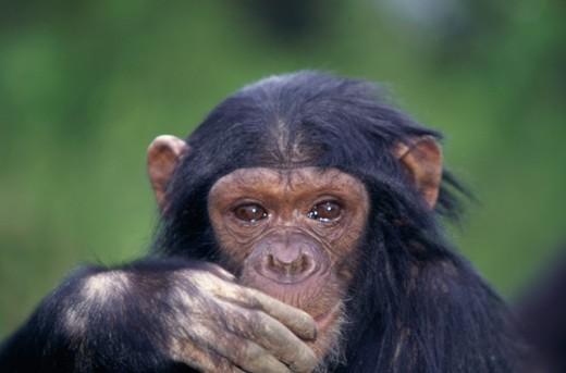 Chimpanzee Tanzania : Stock Photo