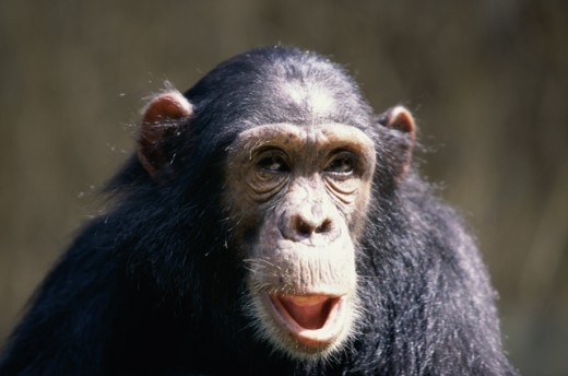 Stock Photo: 1370-1180 Chimpanzee