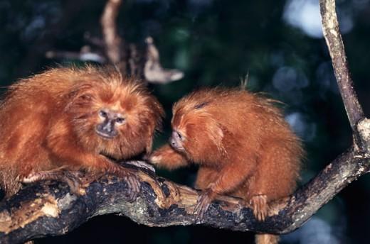 Golden Lion Tamarins : Stock Photo