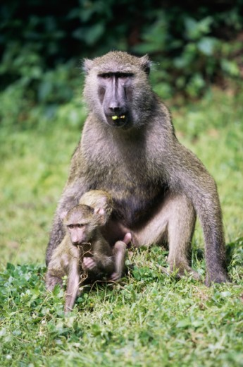 Stock Photo: 1370-1218 Olive Baboons
