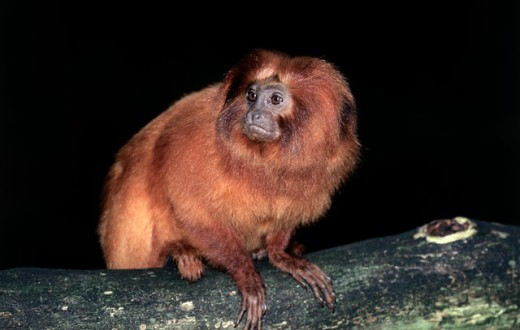 Stock Photo: 1370-1225 Close-up of a Golden Lion Tamarin sitting on a branch, Brazil (Leontopithecus rosalia)