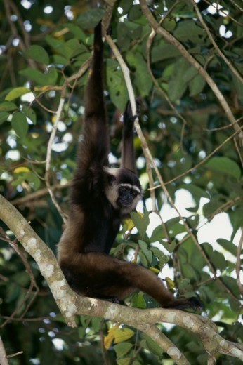 Agile Gibbon : Stock Photo