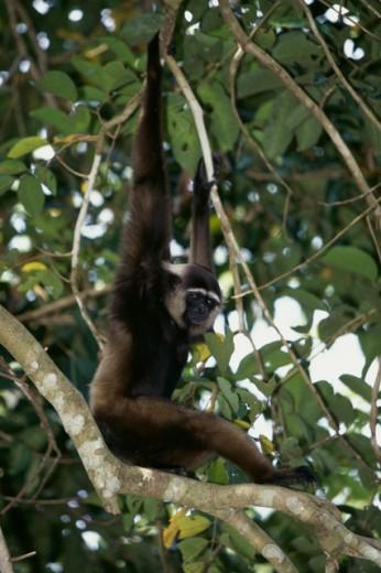 Stock Photo: 1370-1256 Agile Gibbon