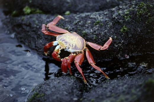 High angle view of a Sally Lightfoot Crab on a rock (Grapsus grapsus) : Stock Photo