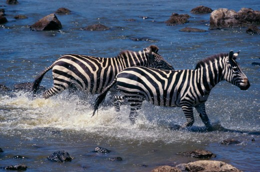 Burchell's Zebras : Stock Photo
