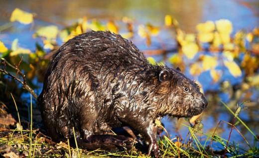 Beaver near a riverbank : Stock Photo