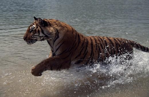 Stock Photo: 1370-195 Side profile of a Bengal Tiger running in water (Panthera tigris tigris)