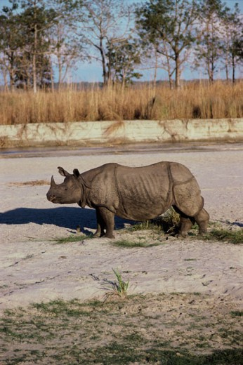 Stock Photo: 1370-2978 Great Indian One-Horned Rhinoceros