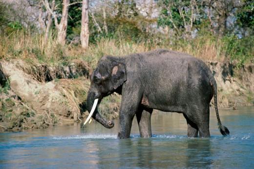Stock Photo: 1370-2988 An Indian Elephant walking through water