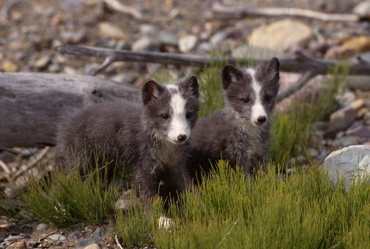 Close-up of two Arctic Fox pups standing together (Alopex lagopus) : Stock Photo