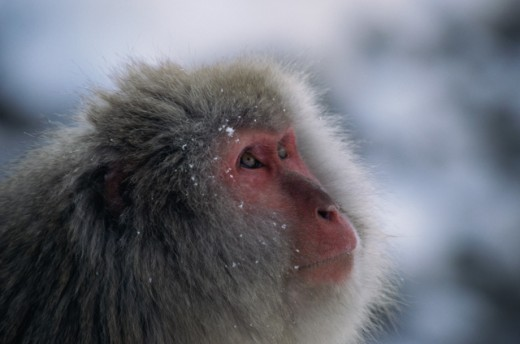 Stock Photo: 1370-3316 Japanese Snow Monkey