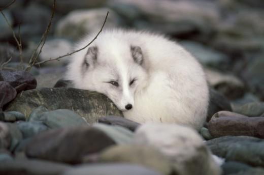 Arctic Fox lying down on rocks (Alopex lagopus) : Stock Photo
