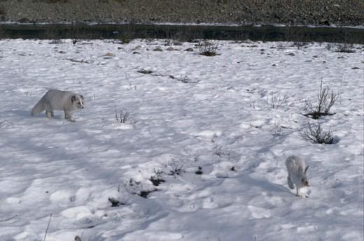 Stock Photo: 1370-3469 Arctic Fox (Alopex lagopus) looking at a Snowshoe Hare (Lepus americanus)