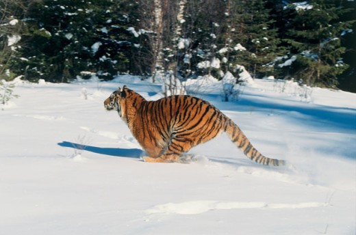 Stock Photo: 1370-3536 Side profile of a Siberian Tiger running on snow (Panthera tigris altaica)