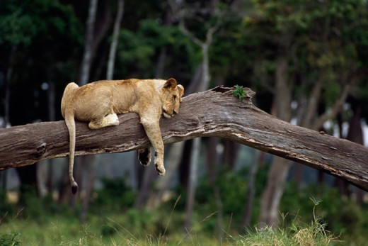 Stock Photo: 1370-3665 Side profile of an African lioness resting on a log (Panthera leo krugeri)