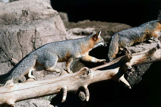 Side profile of two Gray Foxes walking on a log (Urocyon cinereoargenteus) : Stock Photo