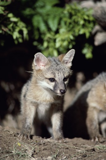 Stock Photo: 1370-3877 Two Gray Fox pups in a forest (Urocyon cinereoargenteus)
