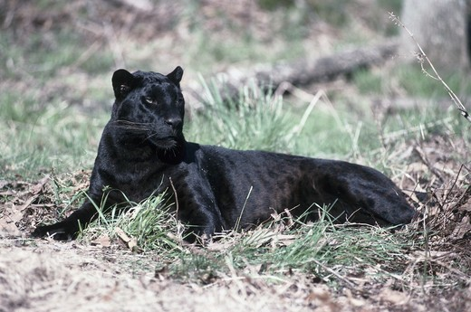 Stock Photo: 1370-3939A Side profile of a Black Leopard resting on the grass