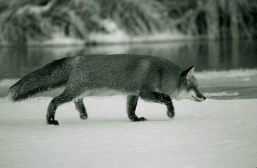 Side profile of a Red Fox foraging on a snow covered landscape (Vulpes vulpes) : Stock Photo