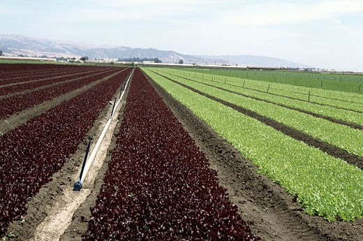 Red leaf and green leaf lettuce fields, Salinas, California, USA : Stock Photo