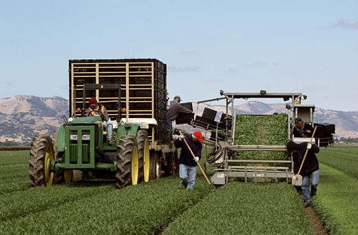 Workers harvesting lettuce in a field, Salinas, California, USA : Stock Photo