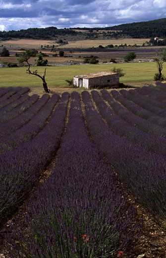 Stock Photo: 1370-42423 High angle view of a house in a lavender field, Provence, Provence-Alpes-Cote d'Azur, France