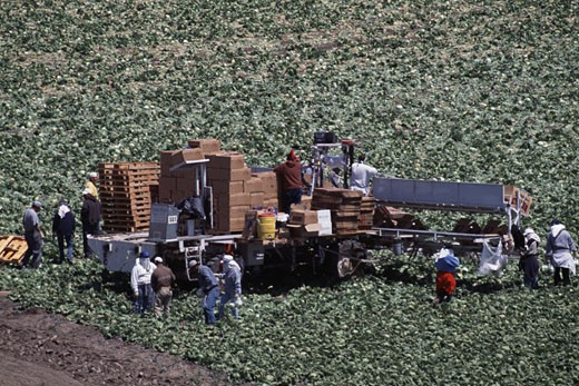 High angle view of workers harvesting head lettuce in a field, Salinas, California, USA : Stock Photo