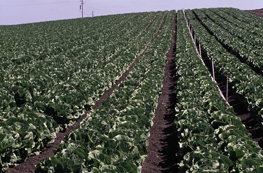 Romaine lettuce growing in a field, Salinas, California, USA : Stock Photo
