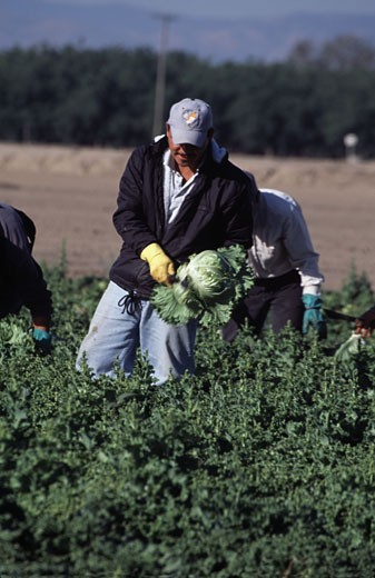 Worker harvesting lettuce in a field, Salinas, California, USA : Stock Photo
