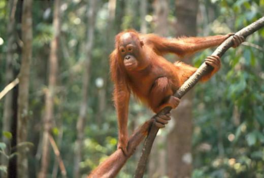 Borneo Orangutan : Stock Photo