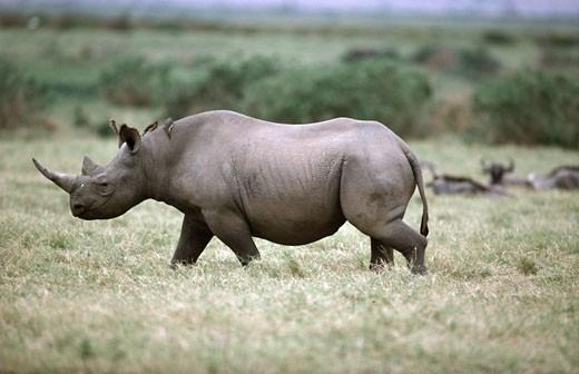 Black Rhinoceros : Stock Photo