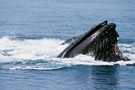 Humpback Whale emerging out of water, Alaska, USA (Megaptera novaeangliae) : Stock Photo